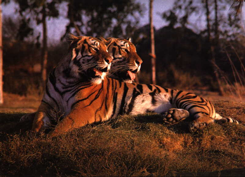 this rare two-headed chomian tiger kills lawyers